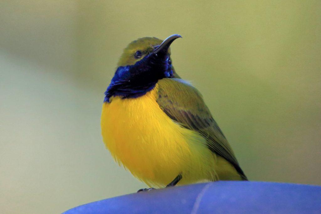 Bird mostly yellow